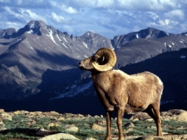 Big Horn Ram Colorado Wallpaper Colorado World