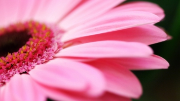 Big Pink Daisy
