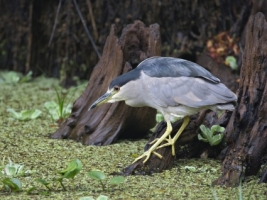 Black Crowned Night Heron Fishing Wallpaper Birds Animals