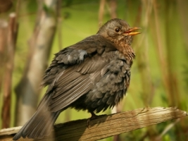 Blackbird female Wallpaper Birds Animals