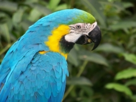 Blue Macaw Parrot Wallpaper Parrots Animals