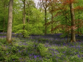 Bluebell Wood Wallpaper High Dynamic Range Nature