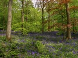 Bluebell Wood Wallpaper High Dynamic Range Nature