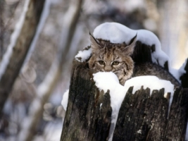 Bobcat Kitten Snow Wallpaper Baby Animals Animals