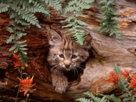 Bobcat Kitten Wallpaper Baby Animals Animals