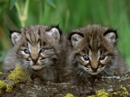 Bobcat Kittens Wallpaper Baby Animals Animals
