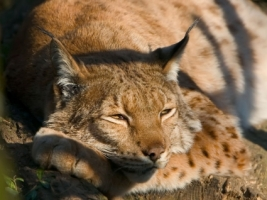 Bored lynx Wallpaper Big Cats Animals