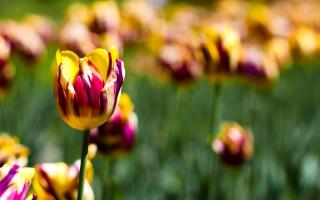 Botanical Garden Tulips