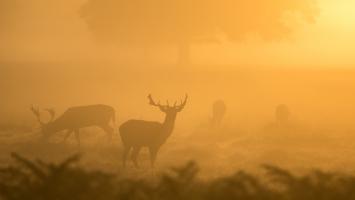 Bushy Park Deers