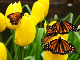 Butterflies Wallpaper Butterflies Animals