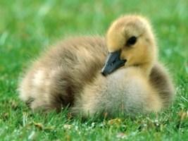 Canada Gosling Wallpaper Baby Animals Animals