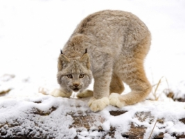 Canadian Lynx Wallpaper Big Cats Animals