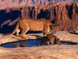 Canyon Cougars Wallpaper Big Cats Animals
