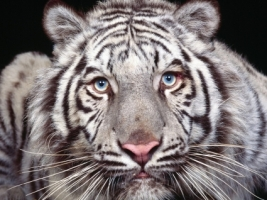 Captivating Eyes Wallpaper Tigers Animals