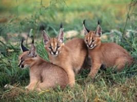Caracals Wallpaper Big Cats Animals