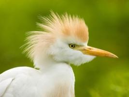 Cattle Egret Wallpaper Birds Animals