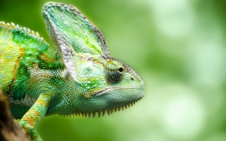 Chameleon Forest Lizard