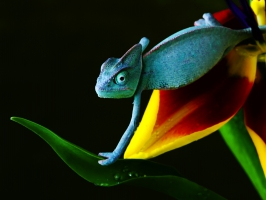 Chameleon in Blue