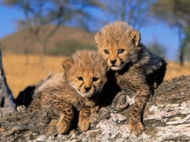 Cheetah Cubs Wallpaper Cheetahs Animals