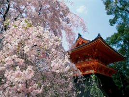 Cherry Blossoms Temple Wallpaper Japan World