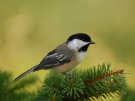 Chickadee Perch Wallpaper Birds Animals