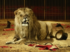 Circus Lion Wallpaper Big Cats Animals