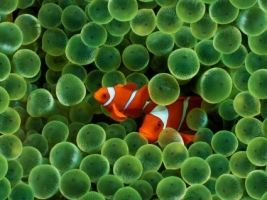 Clown Fish Wallpaper Fish Animals