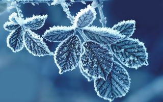 Cold Leaves