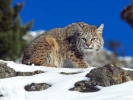 Cold Stare Bobcat