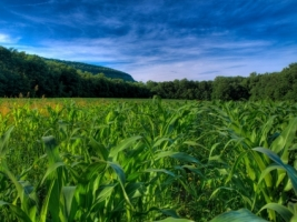 Corn Fields Wallpaper Plants Nature