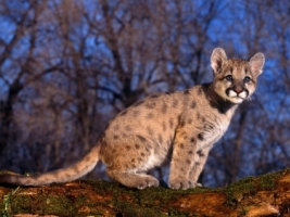 Cougar Baby Wallpaper Baby Animals Animals