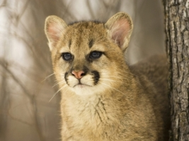 Cougar Cub Wallpaper Baby Animals Animals