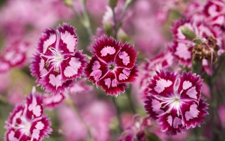 Cranberry Ice Dianthus