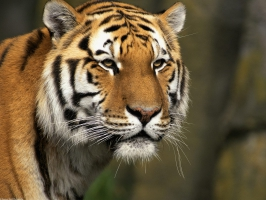Tiger Wallpaper Wallpapers For Free Download About 3 116 Wallpapers