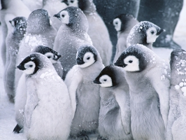Cute Arctic Penguins