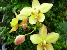 Cymbidium Wallpaper Flowers Nature