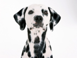 Dalmatian Wallpaper Dogs Animals