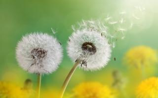 Dandelion Flowers 4K