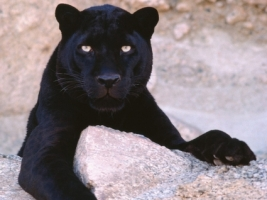 Dark Look Wallpaper Big Cats Animals