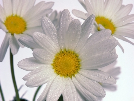 Delicate Daisies