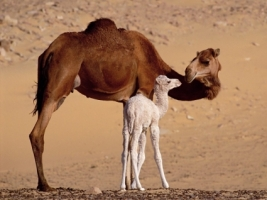 Dromedary Camels Wallpaper Egypt World