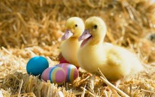 Ducklings Pair