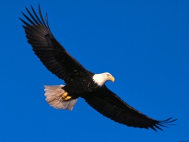 Eagle Soaring High