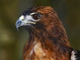 Eagle Wallpaper Birds Animals