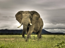 Elephant Wallpaper Elephants Animals
