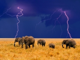 Elephants in an Approaching Storm Wallpaper Elephants Animals