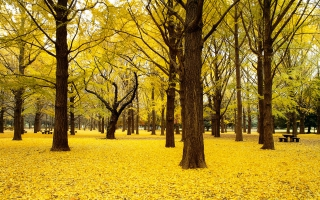 Fall Ginkgo Trees Autumn Japan