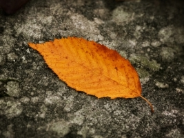 Fallen Leaf Wallpaper Autumn Nature