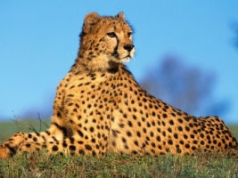 Fast Predator Wallpaper Cheetahs Animals