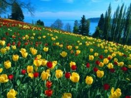 Field of Tulips Wallpaper Germany World